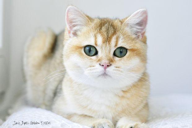 Estibripl British Cats Silver Golden Chinchilla Colourpoint Cameo