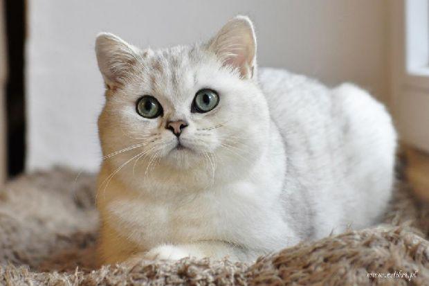 Aktualne EstiBri*PL -British Cats Silver & Golden Chinchilla, Colourpoint IA51